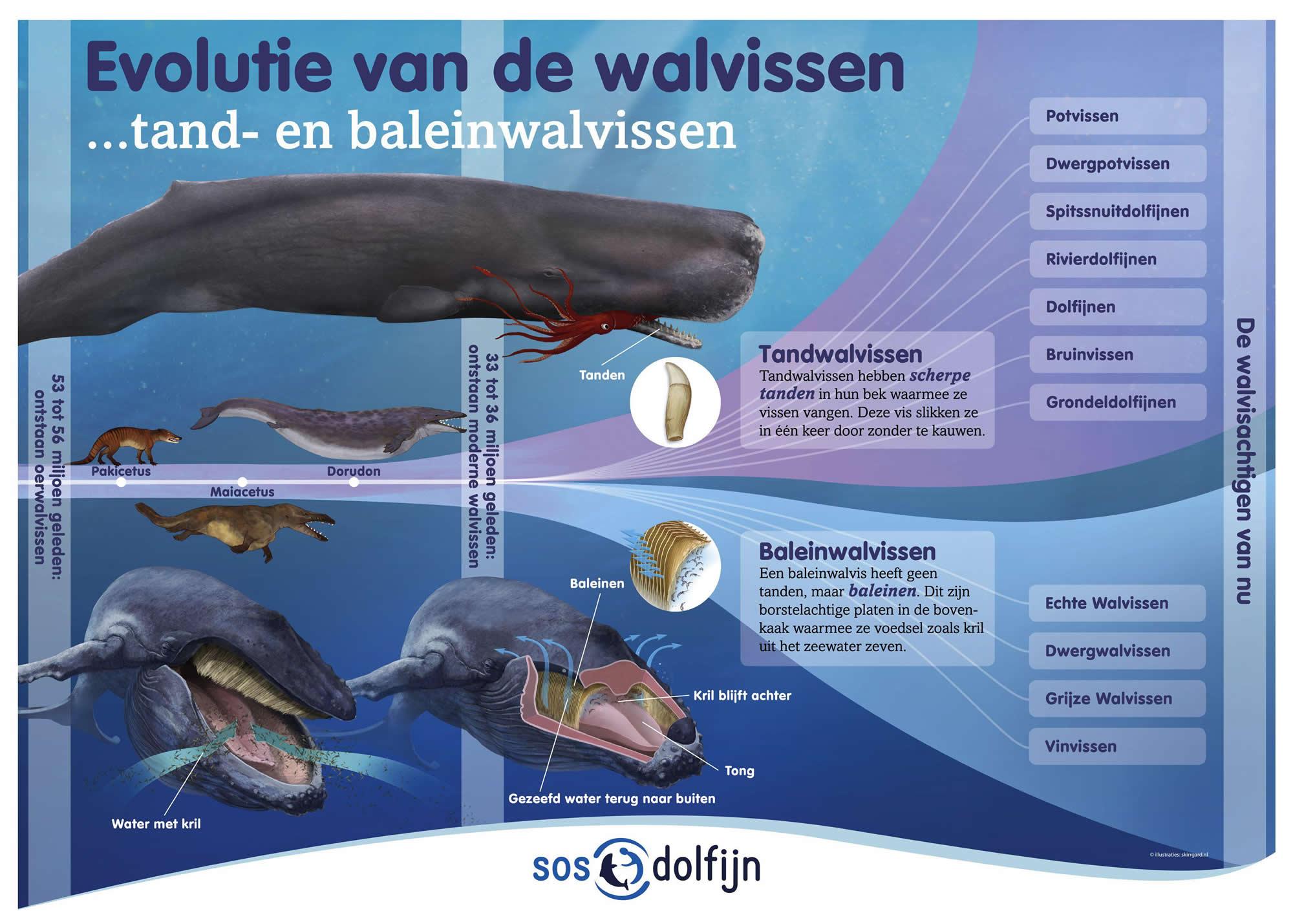 plaat evolutie walvis