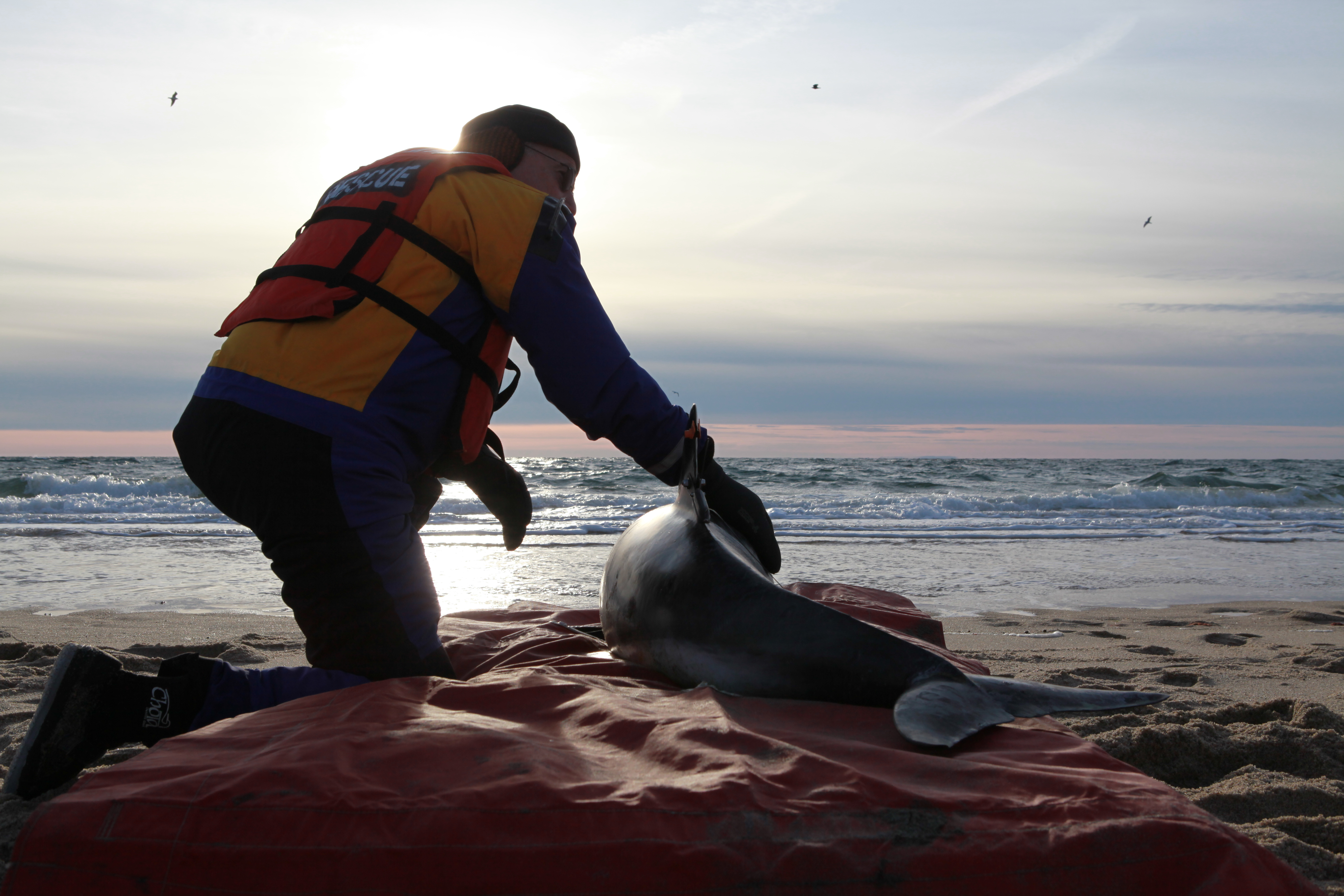 dolphin rescue ifaw